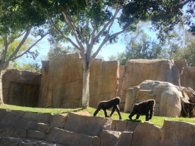 Gorillas at the San Diego Zoo Safari Park in Escondido