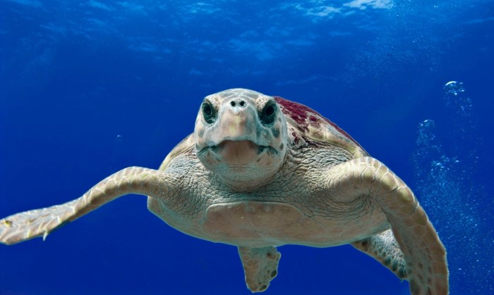 You might see a loggerhead turtle in Costa Rica