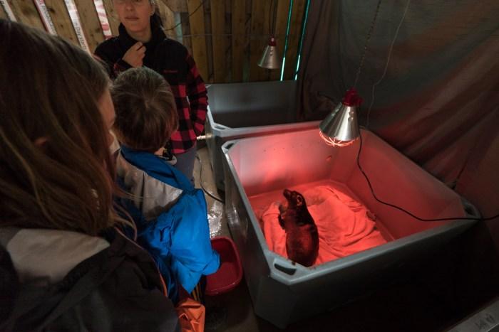 sick seal being nursed back to health