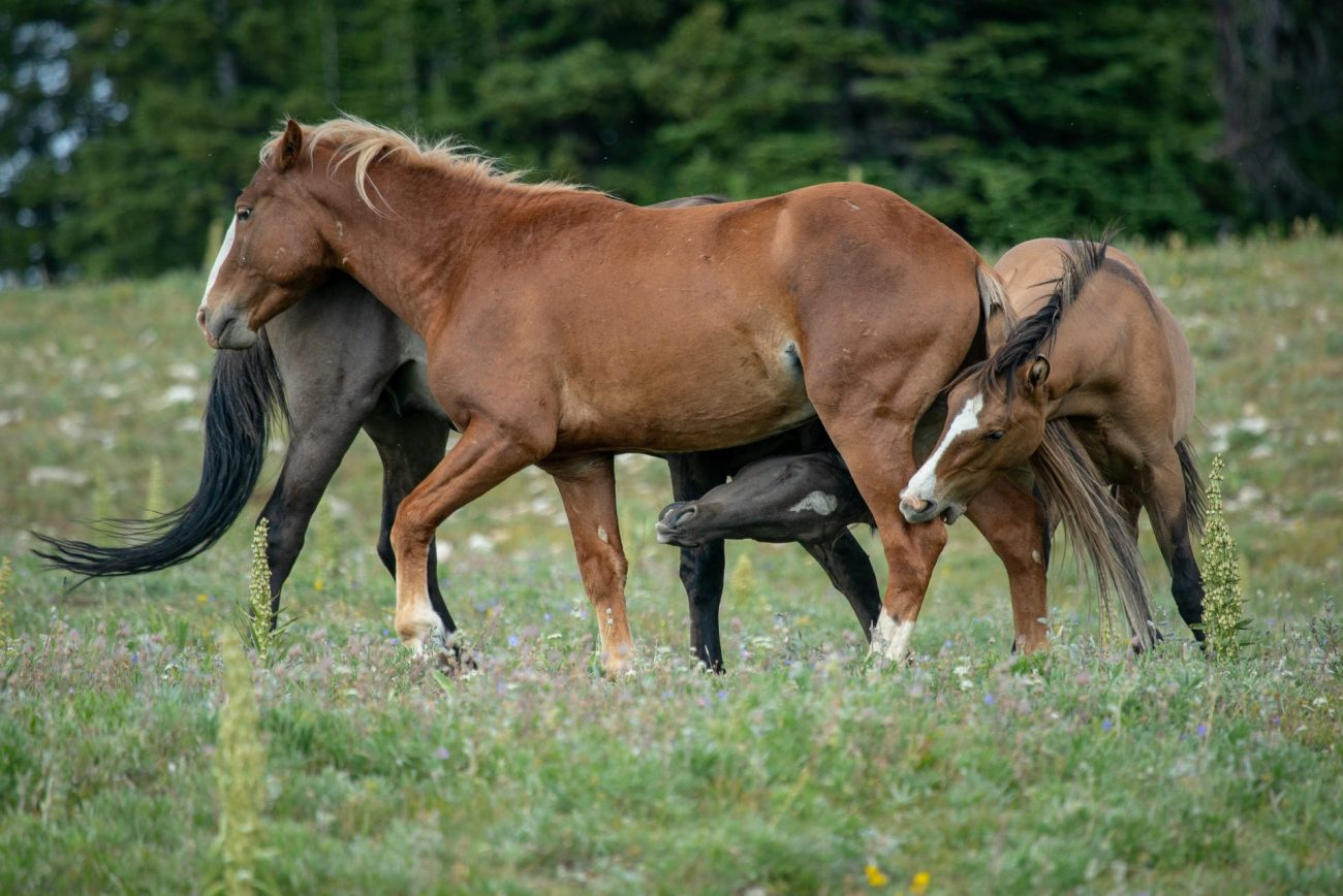 where to see wild horses in Wyoming