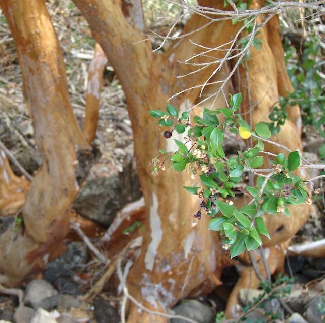 Pretty berries front arrayanas