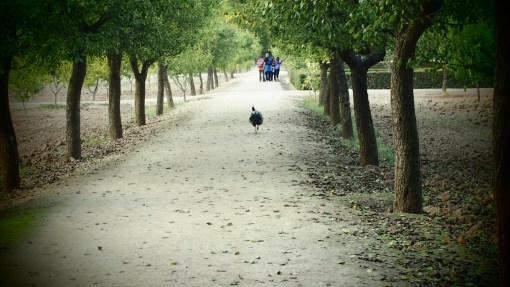 My Peacock friend in Aranjuez