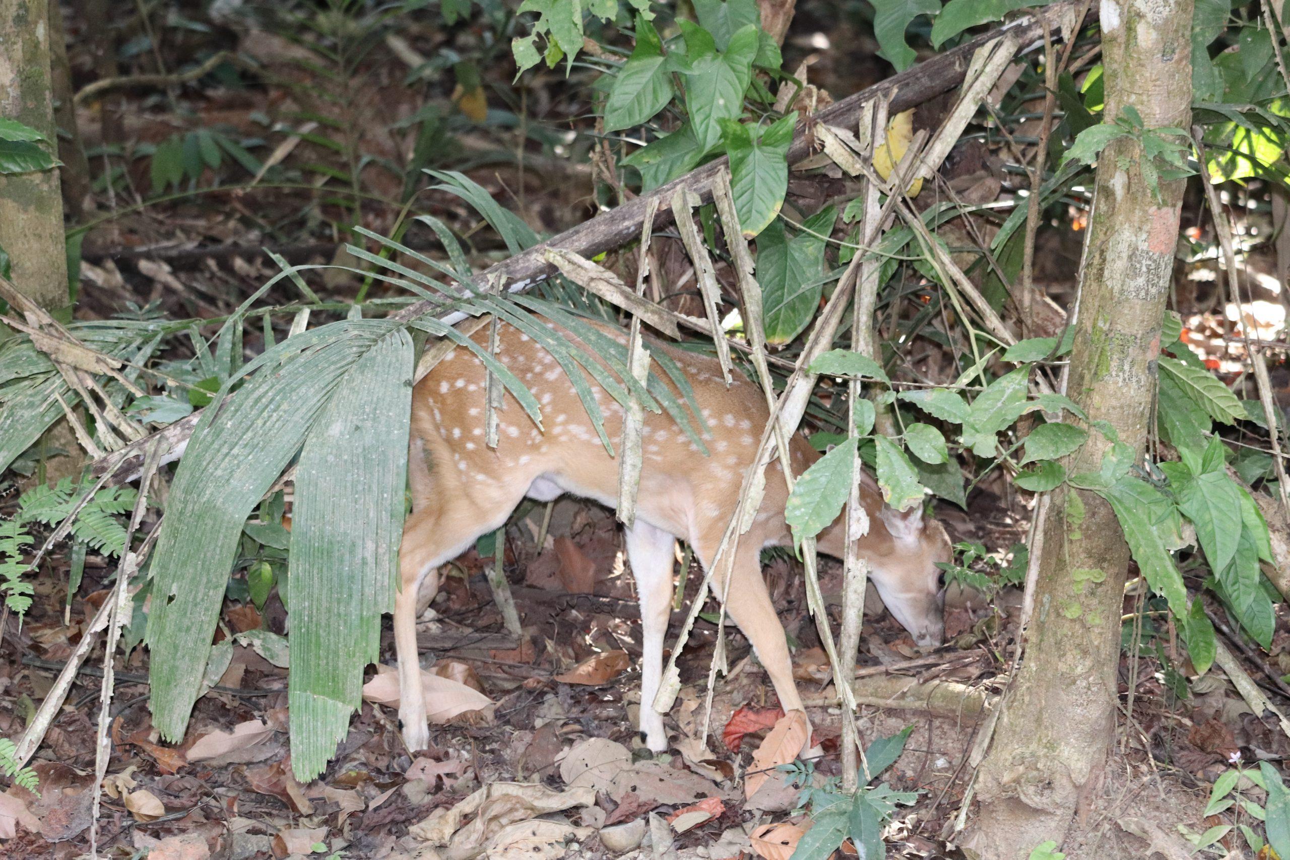 Visiting Manuel Antonio and Uvita: deer