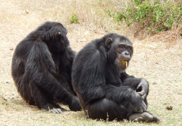 Visit Kenya and Tanzania: Chimpanzees at Ol Pejeta
