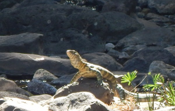 Visit Kenya and Tanzania and see monitor lizard