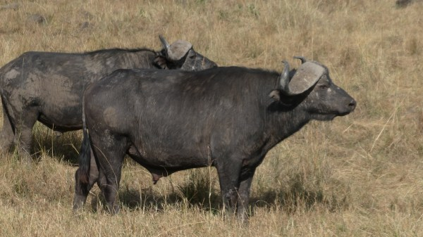 Travel to Africa to see Cape Buffalo