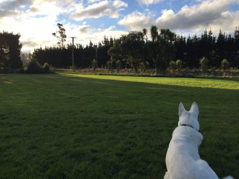 Max, a white German Shepherd, laying in his front yard watching the cars drive down the dirt road