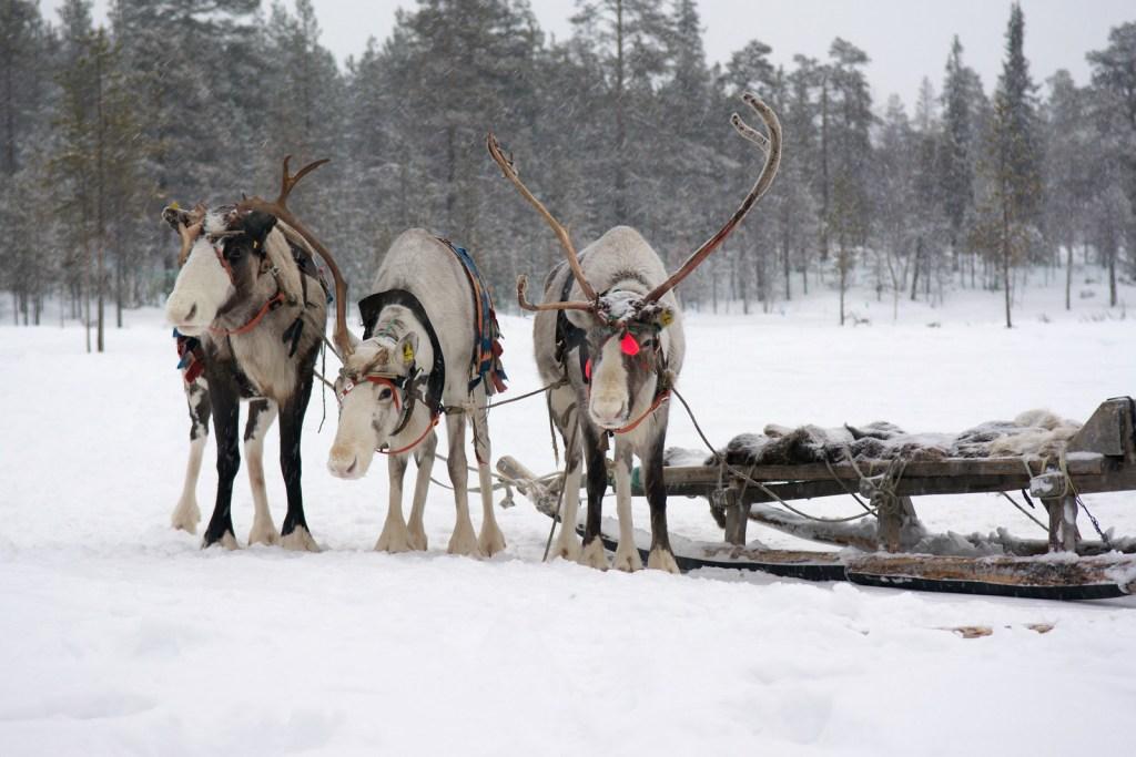 Sami reindeer team