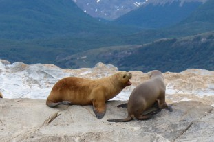 Sea Lion Pups Playing