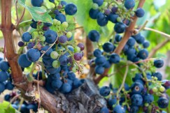 Grapes at Nieto Senetiner Winery