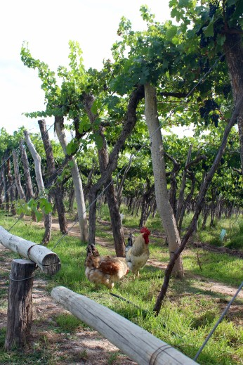 Roosters at Kaiken Winery (Part of Biodynamic Agricultural Method)