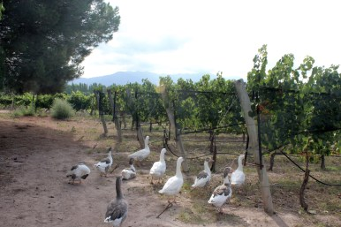 Geese at Kaiken Winery (Part of Biodynamic Agricultural Method)