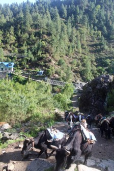 Yaks Crowding the Road to Lukla