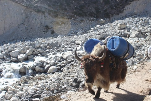 Yak Carrying Fuel to Base Camp