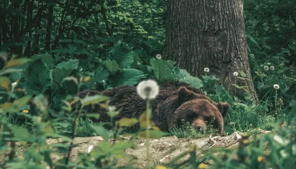 Brown bear sleeping at Libearty Bear Sanctuary in Romania.