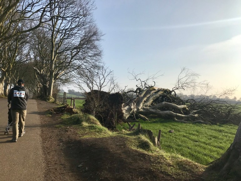 Uprooted Beech tree along Bregagh Rd.  at the Dark Hedges