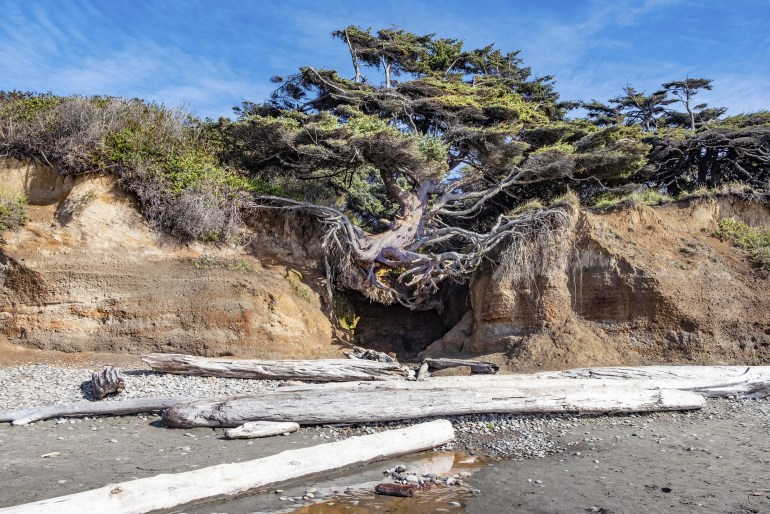 Tree Root Cave with a tree perched precariously straddling two cliffs, at Kalaloch Beach in Olympic National Park