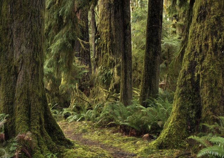 Temperate Rainforest trees with ferns at the base