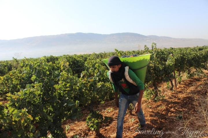 Chateau Ksara Vineyard Grape Harvest