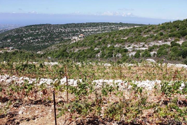 209 Lebanese Wine Batroun Vineyard Lebanon