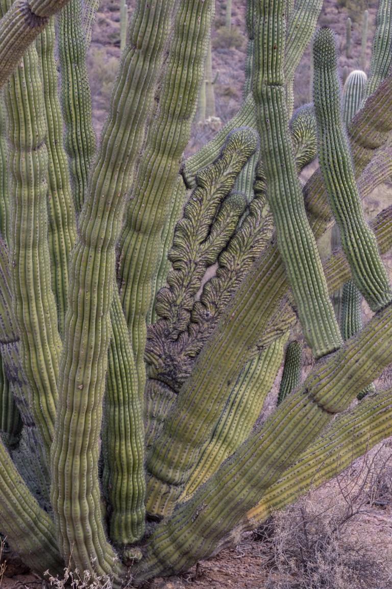 Organ Pipe Cactus-6477
