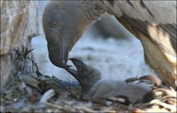 Cape-Vulture