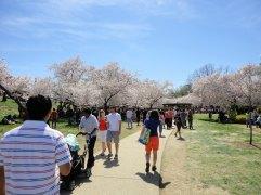 Cherry Blossom Festival 2014