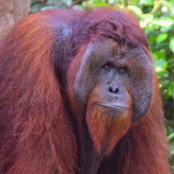 tanjung puting national park orangutans