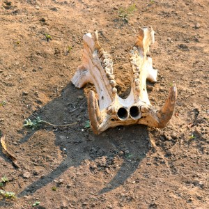 walking safari hippo skull