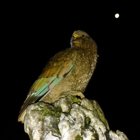 Kea bird on Gillespies Beach. Skydive Franz Josef
