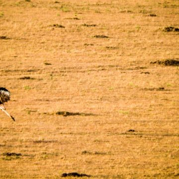 Running Ostrich from the sky