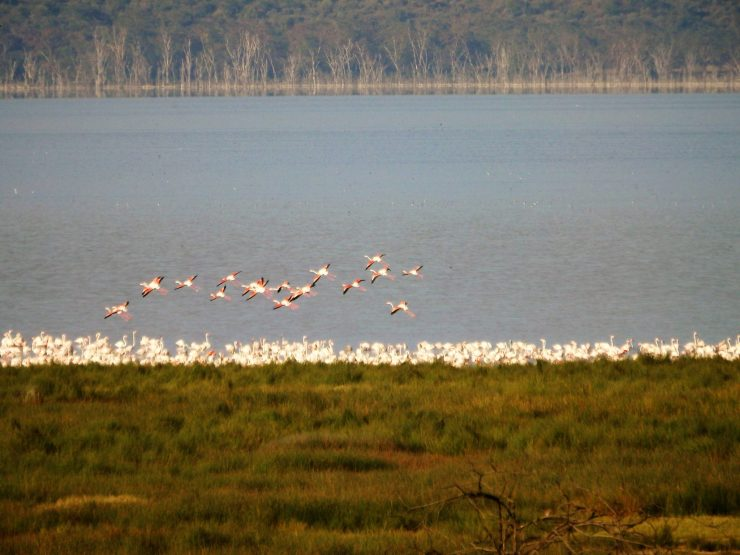 Pink Flamingos of Nakuru