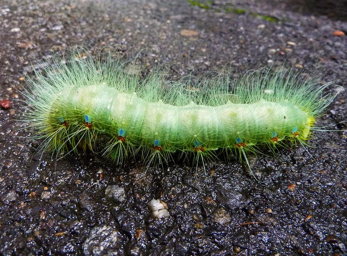 Yellow Woolly Bear Caterpillar