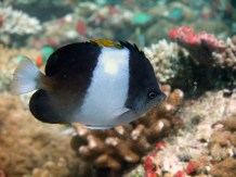 Pyramid Butterfly fish
