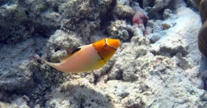 Juvenile Bicolour Parrotfish