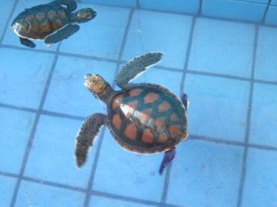 Slightly older turtle