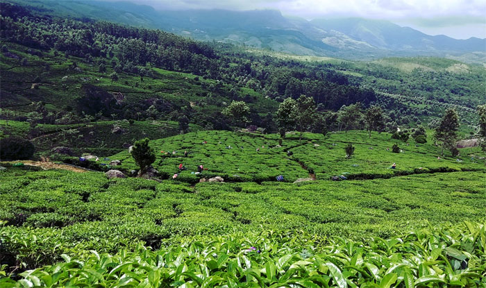 Older is the spirit the better it is, higher is the Tea grown, the better it tastes - Munnar, World's highest Tea plantation