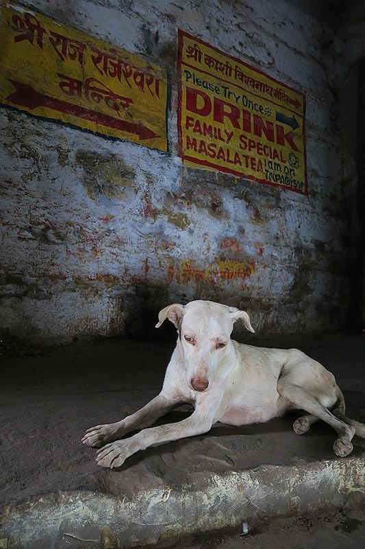 الكلاب المشردة في الهند