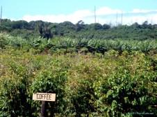 Coffee plants at the Maui Tropical Plantation.