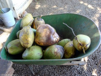 Fresh coconuts by the barrow full! (At Nahiku Marketplace, where there were also fresh bananas, jackfruit, and other tasty snacks.)