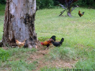 Chickens. They are everywhere on Maui, including at the Kaumahina Pullout.