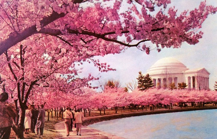 We can't wait to recreate the scene in this vintage 1950s postcard and stroll under the cherry trees along the Tidal Basin! (Postcard by CAPSCO Wholesalers)