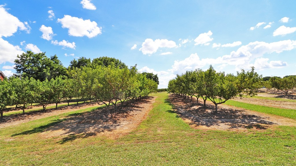 Photo of Peach Trees at Ham Orchards