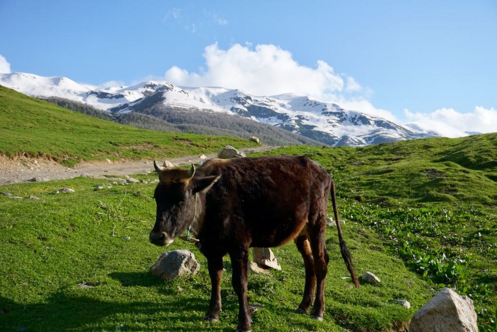 Cattle in beautiful Svaneti