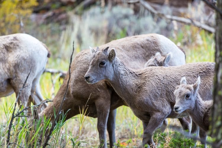A family of mountain goats in the rocky mountain region of Alberta, Canada