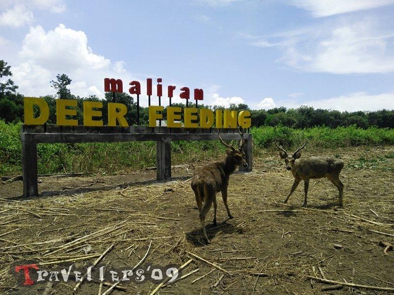 Maliran Deer Feeding, Penangkaran Rusa Maliran Blitar 7