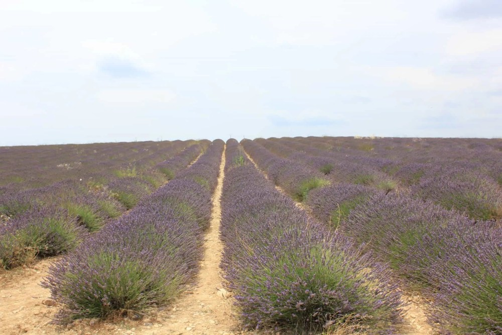 Lavendelåker i Frankrike, norsk reiseblogg