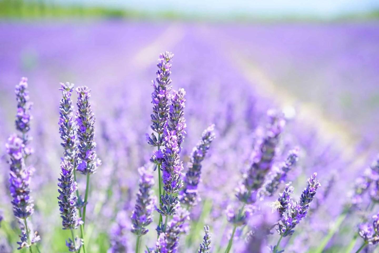 Lavendel åker i Provence, ting å gjøre i Provence, steder å besøke i Provence