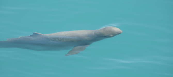 Discover the rare Snubfin Dolphins in Broome