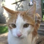Кошки-иностранки (происхождение естественных пород кошек)